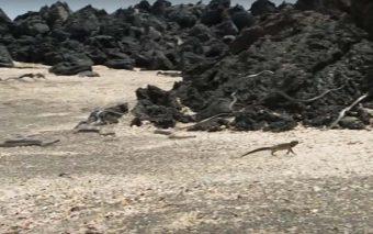 (Video viral) Si el pecado es una serpiente, esta iguana nos da algunas ideas de cómo huir de él