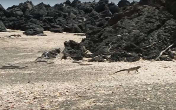 Iguana, (Video viral) Si el pecado es una serpiente, esta iguana nos da algunas ideas de cómo huir de él